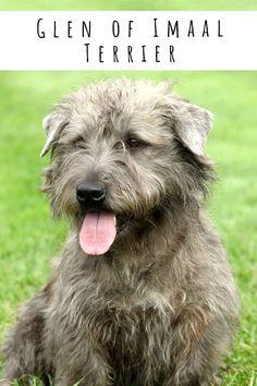 glen of imaal terrier Terrier Breeds, Terriers, Dog Breeds, Fun Facts About Dogs, Dog Facts, Best Dogs For Families, Family Dogs, Glen Of Imaal Terrier, Irish Terrier