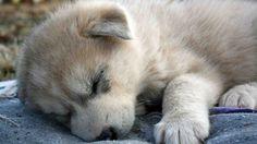 Alaskan Tundra Baby Wolf