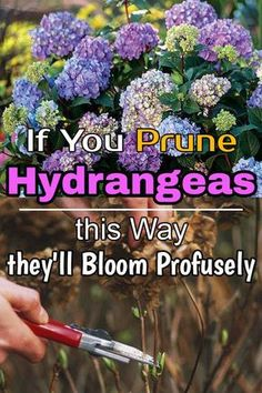 Pruning Hydrangeas is important to keep them healthy and growing while improving their flower production. Learn how to prune them correctly. Garden Yard Ideas, Lawn And Garden, Garden Projects, Garden Tips, Pruning Hydrangeas, Planting Flowers, When To Prune Hydrangeas, Flower Gardening, Caring For Hydrangeas