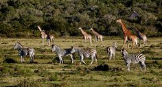"""""""Schotia Safaris is the oldest private game viewing reserve in the Eastern Cape, bordering the eastern side of Addo Elephant National Park, South Africa"""" Photo by Crystian Cruz"""