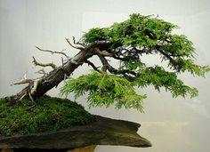 about Bonsai - Windswept (Fukinagashi) on Pinterest   Trees Bonsai ...