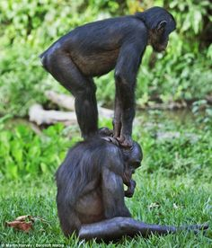 Acrobatic: They may be an endangered species in the African jungles, but this playful pair look like they don't have a care in the world as they play piggy back in the safety of wildlife sanctuary Lola Ya Bonobo