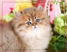 Doll Face Persian Kittens Business Profile on PRLog (dollfacepersians)