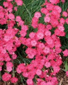 "Dianthus ""Cheddar Pinks"" - 3 to 28 inches tall and wide - good border plant - full sun to light shade. Hardy. Blooms early summer to late summer."