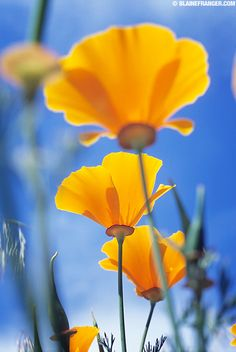 California Poppy flowers; The San Franscisco I remember had California Poppies and Wild Fennel growing even in vacant lots.Not sure if that too has changed;hope NOT!