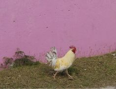Pink background with rooster.