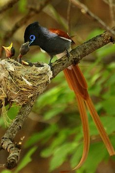 Paradise-flycatcher, Terpsiphone viridis, Paradysvlieevanger   Flickr: Intercambio de fotos