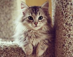 Siberian cats lack/have less of the protein that allergy suffers react to. A beautiful, snuggly Siberian cat. You will be my kitty baby someday! Siberian Kittens, Fluffy Kittens, Cute Kittens, Cats And Kittens, Fluffy Cat, Small Kittens, Funny Kitties, Pretty Cats, Beautiful Cats