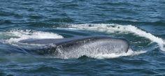 Blue whales off Long Beach, CA