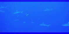 Miyaru Kandu, a grey sharks carousel #ConteMax #Liveaboard #Maldives