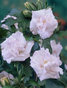 hibiscus syriacus - Google kép Admiral Dewey