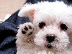 I love Maltese puppies