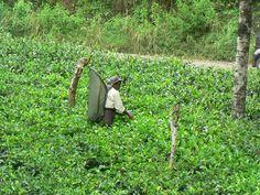 2014.06.08 - Strada per Haputale - Raccolta delle foglie in una piantagione di te
