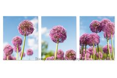 Fine Art Photography  Original  Flower  Garden  Pink  Allium  Colourful  Modern  Photo  Print  Signed