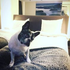 Pikku hotellivieras ❤️ pakkasta pakoon #meidänmisha #babyitscoldoutside #miniloma #långvik #frenchbulldog #frenchielove #ranskis #ranskisrakkautta #mishathefrenchie #langvikhotel http://www.langvik.fi/