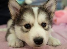 smothered in cute puppies. smothered in cute puppies ish so fluffy most show my PUPPY! Kittens And Puppies, Baby Puppies, Baby Dogs, Cute Puppies, Cute Dogs, Funny Dogs, Doggies, Cute Puppy Pictures, Cute Puppy Videos