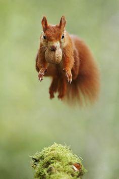beautiful-wildlife: Acrobat by Julian Rad leobeto Follow me on www.joselito28.tumblr.com