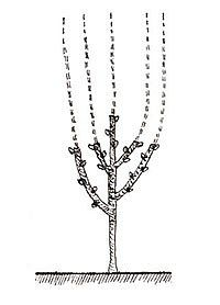 obrázek z archivu ireceptar.cz Mulberry Tree, Flora, Plants, Silver, Gardening, Garten, Money, Plant, Lawn And Garden