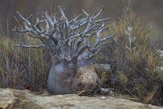 PACHYPODIUM rosulatum var. gracilius - Hledat Googlem