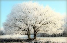 Winter landscape, white trees, twins, tree in the winter, fairy tale, in a blue sky, frosted trees, frost, frosted landscape for christmas and happy new year