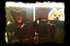 Ashley Purdy's Pomeranians (Tokyo and Killer)
