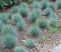 Festuca cinerea 'glauca', Blauschwingel | Bambuswald - Bambus und ...