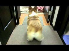 corgi twerking to bubble butt song! So damn cute! a must watch!