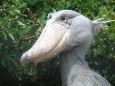 shoebill storks photos - Google Search