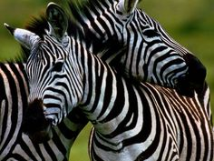 Burchell's zebras nuzzle at the Ngorongoro Crater in the Great Rift Valley, Tanzania.