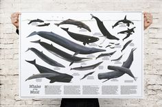 Great Whales of the World 1976 Premium Poster by CoolPoster, $48.99