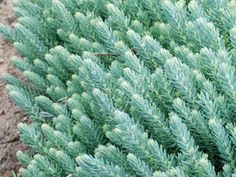 """Sedum Blue Spruce ~ Blue foliage & yellow flowers   Drought proof Ground Cover for Sun   Colorful, Deer Proof Perennial   Fast growing & easy   Zone 3,4,5,6,7,8,9   Blooms Late Summer-Fall   8"""" X 20"""""""