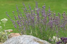 Lavandula Lavandula, Perennials, Colorful, Plants, Plant, Perennial, Planets