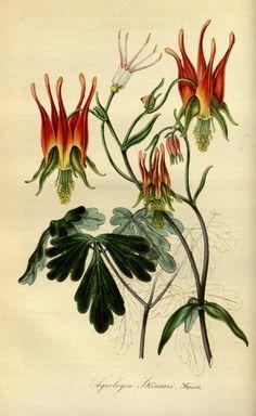 """Beautiful flower lithograph from """"Flore des Serres et des Jardins de l'Europe""""."""