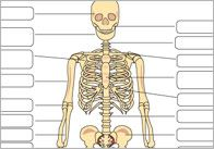 A detailed diagram of the human skeleton with space for children to label each of the major bones. All About Me Topic, Teacher Resources, Teaching Ideas, Key Stage 3, Health And Physical Education, Human Skeleton, Science Activities For Kids, Medical Assistant, Eyfs