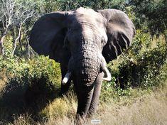 South Africa, Elephant, Animals, Animales, Animaux, Elephants, Animal, Animais