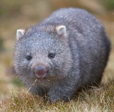 Wombat - did you know they poop square cubes ? An Aussi informed me of this