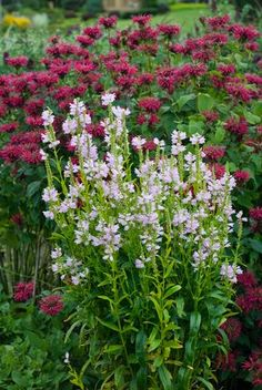 Physostegia virginiana 'Pink Manners'  well-behaved (obedient plant)