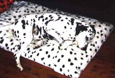 Town: Sydney, New South Wales Deaf dogs: Dana, a Dalmatian who grew deaf as she grew older, died recently at the age of 15 years and 4 months. Donna, a congenitally deaf Dalmatian who died of skin cancer at age 14. Human companion: Jenny Daniel Other pets: Kara, a Dalmatian.