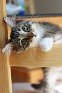 {christine leigh} Charming brown tabby/white short-haired kitten standing on blonde wood chair with beautifully marked face tilted sideways between rungs, one white paw under chin