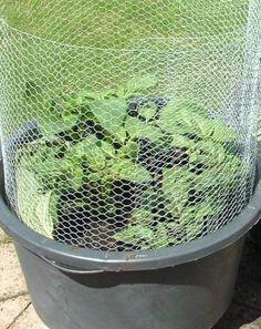 Kartoffeln im Topf anbauen - könnte mit Draht und Erbsen auch funktionieren