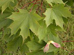 Javor mléč (Acer platanoides) je druh stromu z čeledi mýdelníkovité.
