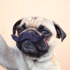 .Pug: I must ask you a question