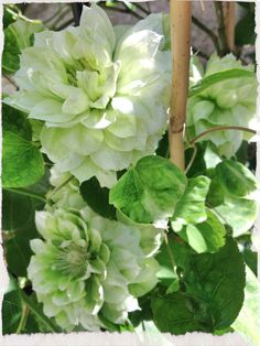 1000 Images About Clematis On Pinterest Clematis