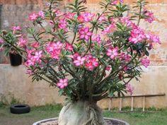 Como fazer estaquia de Rosas do deserto. A Rosa do deserto, Adenium obsum, é uma planta espessa, suculenta, e que adapta-se facilmente a diversos tipos de clima, podendo ser cultivada também dentro de casa. Famosas pelas suas flores, as rosa...