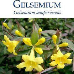 Gelsemium sempervirens (Gels.) | Homeopathy Plus