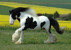 Gypsy Vanner Stallion Dreammaker