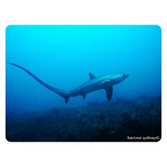 Great Thresher Shark pic from a PADI fan to celebrate shark week