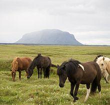 Icelandic horses...the best
