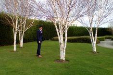 Bildresultat för Betula utilis garden