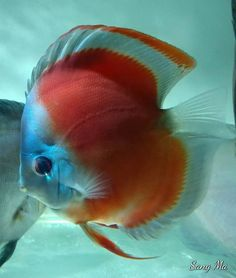 Photo gallery of Discus fish - Live Tropical Fish - Live Tropical Fish Diskus Aquarium, Tropical Fish Aquarium, Discus Tank, Discus Fish, Tropical Freshwater Fish, Freshwater Aquarium Fish, Aquariums, Acara Disco, Oscar Fish